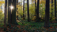 Through the gap - Durch die Lücke (ralfkai41) Tags: autumn landscape efeu trees sunset sun nature forest woodland sonnenuntergang outdoor herbst natur landschaft wald bäume iny autumnleafs herbstblätter sonne ngc