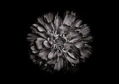 Backyard Flowers In Black And White 79 (thelearningcurvedotca) Tags: briancarson canada thelearningcurvephotography toronto abstract art background backyard beautiful beauty blackandwhite bloom blossom bnw close closeup contrast dark decoration delicate detail flora floral flower fresh garden grown growth leaf light macro monochrome nature outdoors pattern petal photo photograph photography plant round season single spring summer unique vibrant wild awardflickrbest bwartaward bwmaniacv2 bej blackwhite blackwhitephotos blackandwhiteonly bwemotions cans2s discoveryphotos iamcanadian noiretblanc true2bw yourphototips