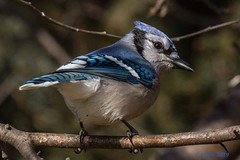 IMG_2559 blue jay (starc283) Tags: starc283 bird birding birds nature naturewatcher flickr flicker blue jay bluejay