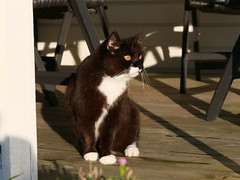 Tussi has been out for a while today (vanstaffs) Tags: tussi tuzz tuxedocat t tux tusse tutu tuzz®