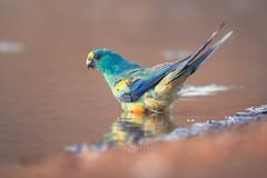 Mulga parrot (Psephotus varius) (Kristian Bell) Tags: mulga parrot drinking waterhole nombinnie bird wild wildlife animal kristian bell sony