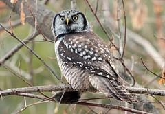 Chouette épervière / Northern Hawk-Owl (sysmik.yves) Tags: chouetteépervière northernhawkowl hibou chouette