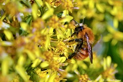 Ape _006 (Rolando CRINITI) Tags: ape insetti macro passodelfaiallo natura