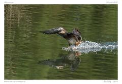 Amerrissage (BerColly) Tags: espagne spain paysbasque plaiaundi canard etang marsh amerrissage splashdown eau water reflets bercolly google flickr