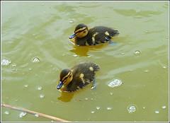 Two Mallard Ducklings .. (** Janets Photos **) Tags: uk hull eastpark publicparks waterfowl lakes ducklings mallards
