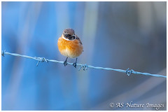 Winter Stonechat (M) (www.andystuthridgenatureimages.co.uk) Tags: stonechat chat male perch wire barbedwire winter cold slimbridge gloucestershire uk bird canon