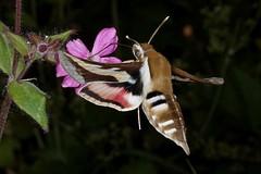 Rolf_Nagel-Fl-2514-Hyles gallii (Insektenflug) Tags: hylesgallii bedstrawhawkmoth schwärmer sværmer brunsprötadskymningssvärmare celerio hyles gallii bedstraw hawkmoth labkrautschwärmer snerresværmer brunsprötad skymningssvärmare lepidoptera moth sphingidae schweden sweden sverige fauna wildlife minoltaerokkor75mm erokkor minolta rokkor 75mm envole en vole flight butterfly västragötaland västra götaland tranemo ambjörnarp mörkhult