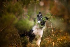 Kaleidoscope (JJFET) Tags: border collie dog sheepdog herding