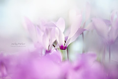 Cyclamen (Jacky Parker Photography) Tags: cyclamen flower spring springflowering springgarden perennial plant freshness fragility beautyinnature purity white closeup selectivefocus focusonforeground floralart flowerphotography nikond750 uk
