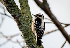 Afternoon Light (ACEZandEIGHTZ) Tags: downywoodpecker avian bird feathers wings winged nature tree picoidespubescens nikond3200 lichen branch closeup macro backyard birdwatcher bokeh