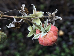 Today in the garden! (Wendy:) Tags: red fruit raspberry december