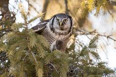 Mon cadeau de Noël et celui de la Chouette épervière / My Christmas gift and the Boreal's Hawk one / (anniebevilacqua) Tags: chouetteépervière northernhawkowl surniaulula proie prey