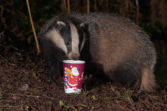 Explored 28-12-19 #19 I think Badgers enjoy a brew too, keeping them warm in the cold winter months. (Thomas Winstone) Tags: wales unitedkingdom canonuk canon 300mm28mk2 mammal mammals uk countryside outdoor forest forestry wild wildlife nature canon1dxmark2 gitzo thomaswinstonephotography bbc springwatch bbcspringwatch nationalgeographic dusk evening fur mustelidae badger light stripes sun yongnuoflash600exrtii offcameraflash flash tripod coffee costa prop setup