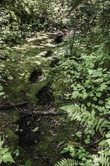 Grizzly mark trail (tmeallen) Tags: grizzlybears marktrail bearfootprints ellipticaldepressions beartrail markpads wilderness remotearea trailtomarktree northtemperaterainforest khutzeymateengrizzlybearsanctuary khutzeymateeninlet coastalbc britishcolumbia