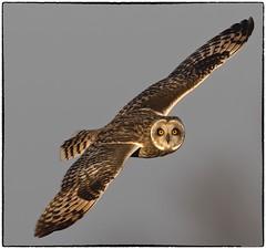 Shorty 600% (RKop) Tags: topazai raphaelkopanphotography pickawaycounty d500 600mmf4evr 14xtciii nikon nature owl shortearedowl