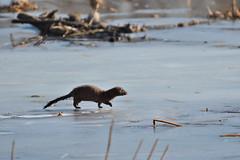 Hunting (Randy R...) Tags: mink mammal ice lake d7500 nature animal nebraska
