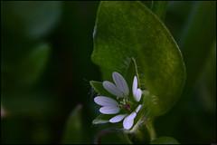 Fleur - 361/365 (Frank PRAT) Tags: project365 frankpratphotographie fleur flower blanche white