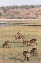 Savanna Sex (peterkelly) Tags: digital canon 6d intrepidtravel capetowntovicfalls africa botswana chobenationalpark choberiver commonwaterbuck herd mating sex copulation antelope