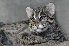 Fishing cat, kitten - (K.Verhulst) Tags: fishingcat cat kat vissendekat blijdorp blijdorpzoo diergaardeblijdorp rotterdam coth5
