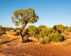 Dead Horse Point State Park   |   Vegetation (JB_1984) Tags: tree junipertree wind erosion rock weathering park deadhorsepoint deadhorsepointstatepark moab utah ut unitedstates usa nikon d500 nikond500