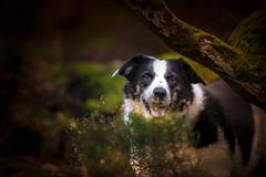 Underwood Elkie (JJFET) Tags: border collie dog sheepdog herding