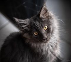 Encore quelques jours. (LACPIXEL) Tags: encore todavía jour day día chat cat gato kitten gatito chaton mainecoon nikon nikonfr flickr lacpixel pennypénélope