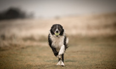 A Mouthful (JJFET) Tags: border collie dog sheepdog herding