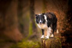 Pole Dancer (JJFET) Tags: border collie dog sheepdog herding