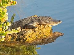 🇺🇸 Alligator & reflection EG 9145 (vickyoutenphoto) Tags: vickyouten alligator wildlife nature nikon nikond7200 nikkor55300mm evergladesnationalpark florida usa