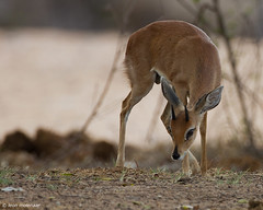 Steenbok Ram (leendert3) Tags: leonmolenaar southafrica krugernationalpark wildlife wilderness wildanimal nature naturereserve naturalhabitat mammal antelope steenbokram