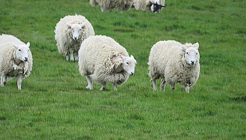 Racing sheep