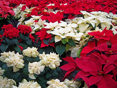 Colors of Christmas (kfocean01) Tags: christmas holiday red flower flowers nature colors explore flora ngysaex
