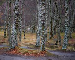 On an overcast day (lebre.jaime) Tags: nature trees birch digital fullframe fx ff nikon d600 voigtländer nokton 58f14sliis nokton5814sliis affinity affinityphoto