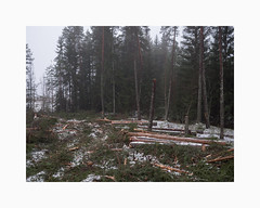 Korsarvet, Falun 2019 (Karl Gunnarsson) Tags: g9 panasonic20mmf17 korsarvet falun dalarna sweden sverige kalhygge clearcut forestry forest woods trees spruces logs fog winter snow overcast