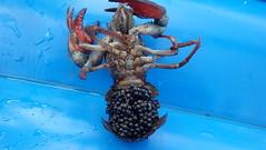 Crayfish Eggs