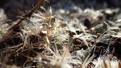 Brickle Bush Seeds