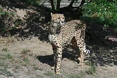 Cheetah (Truus & Zoo) Tags: dierenrijk nuenen netherlands nederland animals zoo dierentuin jachtluipaard gepard cheeta acinonyxjubatus cheetah vulnerable