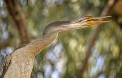 alice river - ♀ australasian darter (Fat Burns ☮) Tags: australasiandarter anhinganovaehollandiae anhingidae waterbird bird australianbird fauna australianfauna nikond500nikon200500mmf56eedvrwildlifeaustralianwi lagooncreekbarcaldine qld australia nikond500nikon200500mmf56eedvrwildlifeaustralianwildlifenatureoutdoors