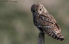 S.E.O(Posted) (KJB Photography.) Tags: seo short eared owl perched bird prey fens wetland farmland fenland nature wildlife