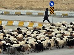Crossing Sheep Herd (Glocal Citizen) Tags: traffic crossing sheep herd everydaylife anatolia anadolu turkey türkiye photojournalism