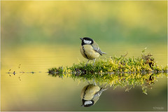 Reflection of a Great Tit (Gertj123) Tags: bird birdwatching bokeh netherlands nature holterberg hide water wildlife canon common summer nederland wild animal avian arjantroost