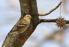 American Goldfinch (jt893x) Tags: 150600mm americangoldfinch bird d500 finch jt893x nikon nikond500 sigma sigma150600mmf563dgoshsms songbird spinustristis