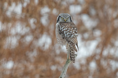 Northern Hawk Owl (Joe Branco) Tags: green grass beautiful macro canada ontario lightroom photoshop branco joe joebrancophotography northernhawkowl