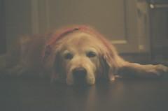 (kristen_manza) Tags: christmas fuji fujifilm 400iso toronto holidays dog goldenretreiver