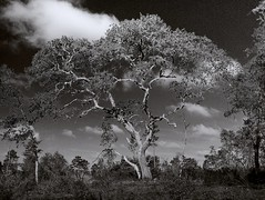Oak Tree (surfcaster9) Tags: oaktree clouds sky blackwhite outside nature florida forest lumixg7 lumix25mmf17asph micro43 outdoors