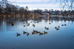 Geese on the pond (Daisy B) Tags: 2019 december jamaicaplain nikon nikond3200 tamron2470mm