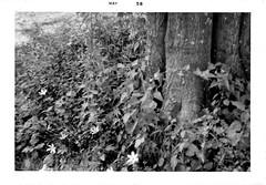 Animal    001ee (BDC Photography) Tags: kinder louisiana usa 1958 blackwhite film racoon animal kodakbrowniecamera