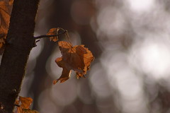 Осеннее боке / Autumn bokeh (Владимир-61) Tags: осень октябрь природа листья листва клен боке autumn october nature leaf leaves foliage maple tree fall bokeh sony ilca68 minolta75300 natureinfocusgroup