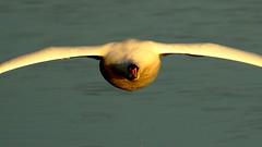 (noelbarke) Tags: swan mute bird noel barke flying attenborough nature reserve nottingham wildlife trust cygnus olor