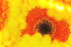 Solar nebula (L@nce (ランス)) Tags: flowers flower bouquet bokeh macro micro canada nikon britishcolumbia nikkor yellow orange